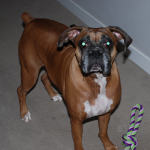 Another great pic of my great boxer, Becca