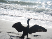 Cormorant in Sun at Gulf Coast
